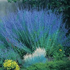 Perovskia atriplicifolia Blue Spires (Blue Spires Russian Sage)