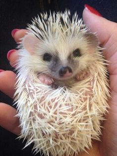 I am such a lovely little hedgie ♡