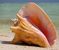 Jumbo HUGE Bahama Queen Conch Seashell (Pink) - Bahamas P... https://www.amazon.com/dp/B01GEJ6QDK/ref=cm_sw_r_pi_dp_x_xRR3xbXZH9KZ3