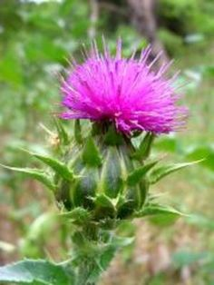 Milk thistle contains an active antioxidant compound called silymarin which is a powerful detoxifying agent.
