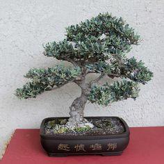 bonsai trees | Olive, 35 years old, 10years of training, Sagi Baron - Bonsai Tree Art