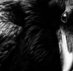Raven | Pure Black