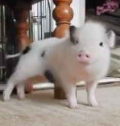This pig's got some moves!