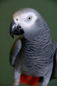 African grey parrot.  My dad had one of these & his name was Pedro!  Daddy was the only one that could handle him... I miss them both!