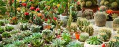 Mitos sobre cactos e suculentas que você precisa saber - Já faz algum tempo que os cactos e suculentas são os queridinhos de quem lida com a jardinagem seja de forma doméstica ou profissional. Mas como estas plantas se tornaram populares, alguns mitos surgiram... Pra desvendá-los explicamos mais detalhadamente quatro dos principais mitos. Vem ver... - http://www.ecoadubo.blog.br/ecoblog/2015/12/03/mitos-sobre-cactos-e-suculentas-que-voce-precisa-saber/