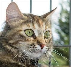 <3 Aspen is an adoptable Domestic Long Hair Female Cat in San Luis Obispo, CA.  Primary Color: Torti/tabby Weight: 6.92 Age: 2yrs  Animal has been Spayed... Woods Humane Society, San Luis Obispo, CA (805) 543-9316 x 11