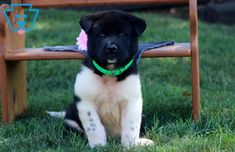 Gerald | Akita Puppy For Sale | Keystone Puppies Akita Puppies For Sale, American Akita, Shiba, Best Friends, Japanese, Dogs, Animals, Beat Friends, Bestfriends
