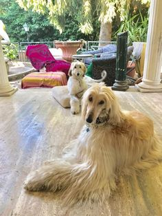 1241 Best Afghan Hounds images in 2019   Afghan hound, Dogs