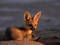 Cape Fox, Kalahari Gemsbok National Park, S Africa Fotografie-Druck von Tony Heald bei AllPosters.de