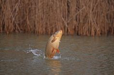 Why carp jump and what it means... - Articles - CARPology Magazine