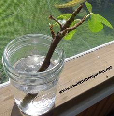 Fig cutting rooting in water www. Fig cutting rooting in water www.