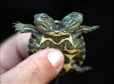 Two heads are better than one? Two-headed turtle.