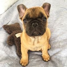 Remy, the adorable French Bulldog Puppy, @remy.the.frenchie on instagram.