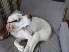 english pointer   Leda  my dog                             Come sto con gli occhiali?