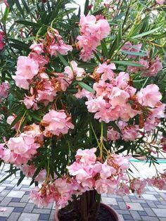 Így lettek álomszép leandereim | Balkonada Diy And Crafts, Floral Wreath, Wreaths, Outdoor, Gardening, Decor, Templates, Shrubs, Outdoors
