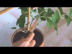 Вегетативное размножение фуксий - YouTube