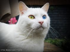 Magnificent Cat Pictures on Cat Breeds CBWP 100