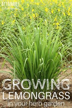 Growing lemongrass is easy. It's a pretty addition to gardens, but it's a flavorful edible, too. Use it to give soups, stir fries, and tea a little extra zing. #herbs #garden via @Attainable Sustainable
