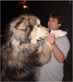 Giant Alaskan Malamute