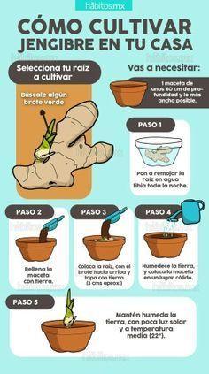 Cultivar jengibre en casa