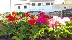 Los reyes de la floración en Canarias. Los tienes todo el año a tu disposición.