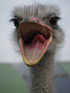 The Ostrich bird or Common Ostriches (Struthio camelus) is either one or two species of large flightless birds native to Africa. They can run at up to about 70 km/h (43 mph), the fastest land speed of any bird, and some people even ride them.  When threatened, the ostrich will either hide itself by lying flat against the ground, or run away. If cornered, it can attack with a kick of its powerful legs.