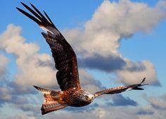 【愛鳥週間】ヨーロッパ・オセアニアの国鳥を貼ってく