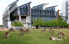 Kangaroos chillin' outside the library- the campus is a wildlife reserve!  Sunshine Coast University......