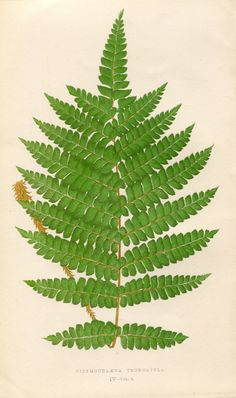 Antique Color Coloured Engraved Bookplate Book Plate Print Vintage Bookplate Ferns British and Exotic E.J. Lowe 1857 No. 4 Fern. $14.95, via Etsy.