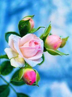 Beautiful Rose Flowers, Beautiful Gardens, Beautiful Flowers, Flower Photos, Ikebana, Spring Flowers, Watercolor Flowers, Pink Roses, Flower Art