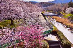 A cherry tree blooms 3 by Chikara Amano