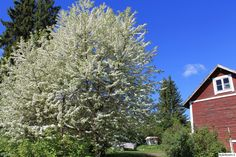 piha,puut,pilvikirsikka,kukat,kesä,viherpiha,kuukauden piha