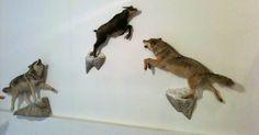Être ou ne pas être un loup, telle est la question