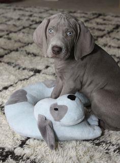 Baby Weimaraner Blitz and his stuffed 'Tucker'