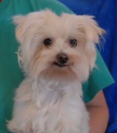 Gregory is a 5-pound angel who loves to snuggle.  He is a breathtakingly cute Maltese, about 6 years of age, neutered boy, debuting for adoption today at Nevada SPCA (www.nevadaspca.org).  Gregory enjoys other dogs and needs extra safety precautions taken in the home and yard due to his tiny size.  At the time of rescue he was at another shelter that asked for our help with his dental care.  We want to find Gregory a stable, responsible home.