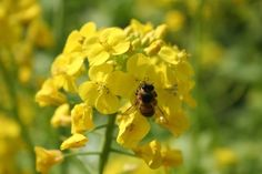Honey bee on a mustard flower