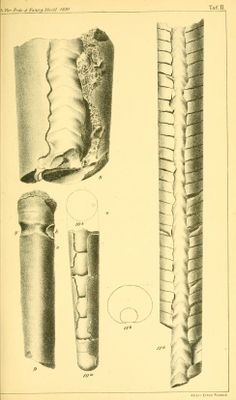 Ueber die Silur-Cephalopoden aus den mecklenburgischen Diluvialgeschieben / - Biodiversity Heritage Library
