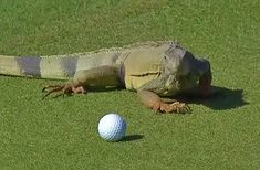 Check out the 10 most memorable animal encounters on the PGA tour. Pet Supermarket, Green Iguana, Golf Videos, Hole In One, Golf Humor, Reptiles And Amphibians, Golf Tips, Animal Photography, Golf Courses
