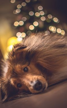 handsomedogs ... Sleepy sheltie ... Michael Groth