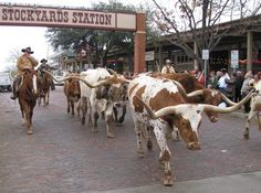 Fort Worth Stockyards, I miss seeing fields of cattle and especially longhorns