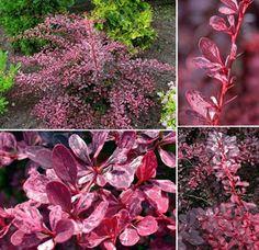 Berberis thunbergii Rose Glow, x sun - great deer and drought tolerant plant Deer Resistant Plants, Drought Tolerant Plants, Yard Ideas, Glow, Sun, Rose, Garden, Flowers, Patio Ideas