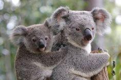 """""""O Grito do Bicho"""": Coalas australianos estão sofrendo – e morrendo – ..."""