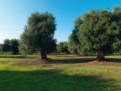 Ulivi un Puglia - Argente de frondere.... Regions Of Italy, Southern Italy, Olive Tree, Great Places, Golf Courses, Country Roads, Vacation, Landscape, Pools