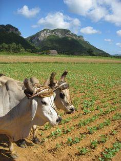Valle de Viñales, Pinar del Rio, Cuba