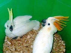 Rs 40: Cockatoos and Fertile Eggs Available on Sale Our  Cockatoos with tons of toys & Huge cage, Female. 8 months old, very friendly, great vocabulary. Ama..