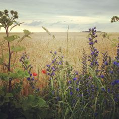 Summer field, Gotland, Sweden (via Katie B) Prado, Voyage Suede, Beautiful Places, Beautiful Pictures, Sweden Travel, Field Of Dreams, Summer Feeling, That Way, Wild Flowers