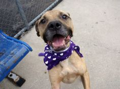 TO BE DESTROYED - 05/22/14 Brooklyn Center   TONY - A0999364  MALE, TAN / WHITE, PIT BULL, 2 yrs STRAY - ONHOLDHERE, HOLD FOR ARRESTED Reason OWN ARREST  Intake condition NONE Intake Date 05/10/2014, From NY 11216, DueOut Date , I came in with Group/Litter #K14-176899. Medical Behavior Evaluation GREEN  https://www.facebook.com/photo.php?fbid=802517146427833&set=a.617941078218775.1073741869.152876678058553&type=3&theater