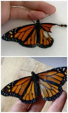 How To Repair Butterfly Wings This is probably the most rewarding DIY project we have posted to date! I would like to thank Romy McCloske for letting us share this wonderful story. If this can help one butterfly fly again, this post is worth sharing with you all! I would like to thank my dear friend, Patric B., for sharing a video with me about repairing butterfly wings, so that I could help my sweet little guy. Here are before and after photos, with a bit of explanation under each photo, on…