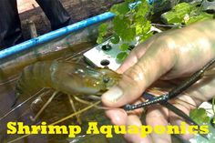 Choosing the right kind of shrimp Aquaponics is one tricky thing. Creating Aquaponics system means the activity of keeping fish and plants together.