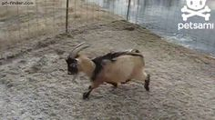 He's a professional goat   Gif Finder – Find and Share funny animated gifs